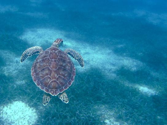 Turtle Culebra Puerto Rico